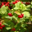Red viburnum berry - Stock Photo