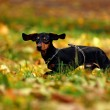 Happy dachshund dog in park - Stok fotoğraf