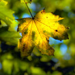 Autumn maple leave — Stock Photo #1387443