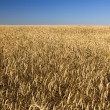 Field of gold wheat and blue sky — Stock Photo