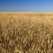 Field of gold wheat and blue sky — Stock Photo #1387791