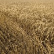 Stock Photo: Field of gold wheat