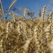 Field of gold wheat and blue sky — Stock Photo #1387871