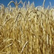 Field of gold wheat and blue sky — Stock Photo #1389906