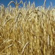 Stock Photo: Field of gold wheat and blue sky