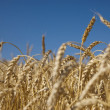 Field of gold wheat and blue sky - Stock Photo