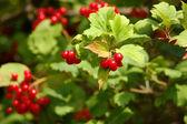Baies de viorne rouge — Photo