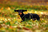 Happy dachshund dog in park — Stock Photo