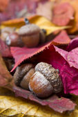 Acorns with autumn leaves — Photo