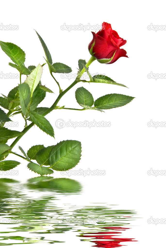 Red rose with reflection isolated on white — Stock Photo #1383925