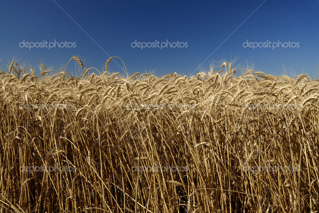Field of gold wheat and blue sky — Stock Photo #1387826
