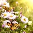 Two butterfly on flowers — Stock Photo #2621347