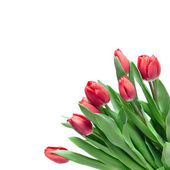 Close-up red tulips isolated on white — Stock Photo