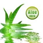 Green aloe vera with icon — Stock Photo