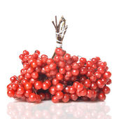Berry of red Viburnum — 图库照片