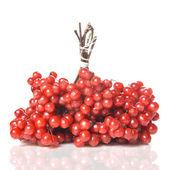 莓果的红色琼花 — 图库照片