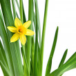 Narcissus isolated on white — Foto Stock #2643187
