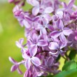 Spring lilac flowers with leaves — Stock Photo #2643516