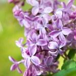 春の葉とライラック色の花 — ストック写真
