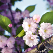 Spring blossom of purple sakura - Stock Photo