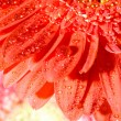 Close up daisy-gerbera - Stock Photo