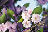 Spring blossom of purple sakura — Stockfoto