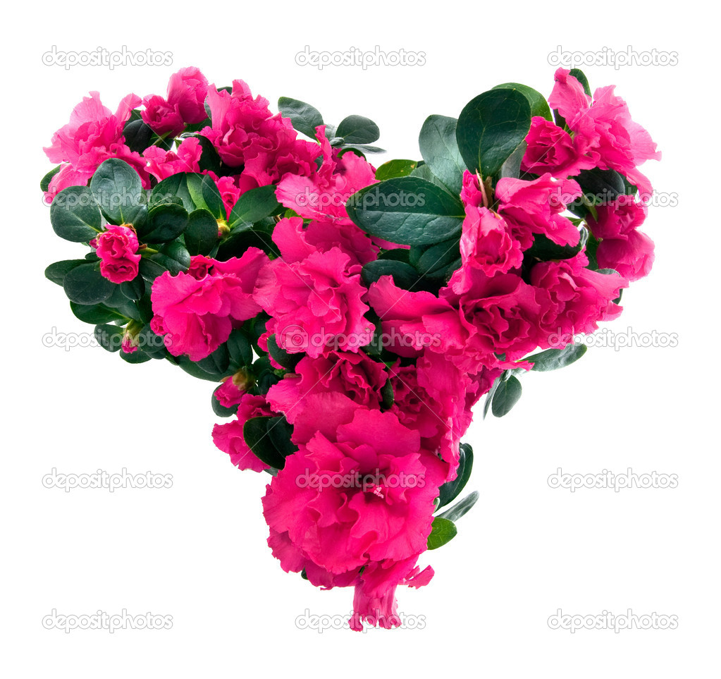 Heart from azalea flowers for valentine's day isolated on white — Stock Photo #2643120