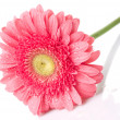 Pink daisy-gerbera with water drops — Stockfoto