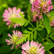 Clover in field — Stock Photo #1451573