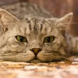 Stock Photo: Cat on carpet