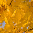 Golden Fall - yellow maple leaves — Stock Photo