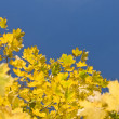 Yellow maple leaves and blue sky — Stock Photo