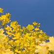 Yellow maple leaves and blue sky - Stock Photo