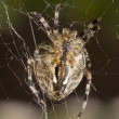 Close-up of Beautiful spider — Stock Photo #1361927