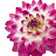 Pink Wet dahlia (georgina) with droplets - Stock fotografie