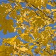 Maple branches with yellow leaves — Stock Photo