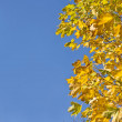 Fall. Yellow maple leaves and blue sky — Stock Photo #1364290