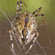 Closeup of large spider — Stock Photo