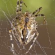 Stock Photo: Closeup of large spider
