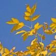 Beautiful fall - yellow leaves — Stock Photo