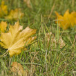 Autumn. Maple Leaves on the grass — Stock Photo