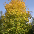 Stock Photo: Autumn is coming. Maple tree is getting yellow