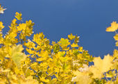 Yellow maple leaves and blue sky — Stockfoto