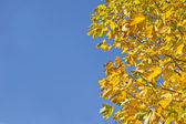 Fall. Yellow maple leaves and blue sky — Stockfoto