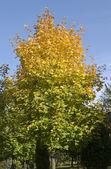 Zbliża się jesień. drzewo klon jest coraz żółty — Zdjęcie stockowe