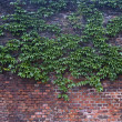 Old brick wall overgrown with vine — Stock Photo