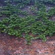 Stock Photo: Old brick wall overgrown with vine
