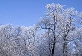 Hoarfrost on trees — Stock Photo