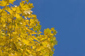 Autumn - yellow leaves of maple tree — Stock Photo