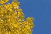 Jesień - żółte liście z drzewa klonowego — Zdjęcie stockowe